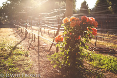 Alone in the vineyard (Dooquie) Tags: sunset roses rose napavalley canon5dmarkii ranchovichy