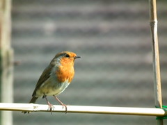 Mr Robin (amy's antics) Tags: red bird robin sticks nesting beanrow