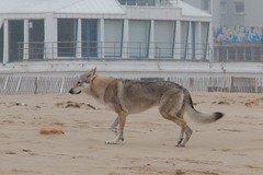 EOS7D_2013_05_20_006360 (Olivier_1954) Tags: dog chien beach shepherd plage calais berger wissant escales