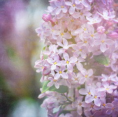 My town is awash in lilacs... (Sherralee) Tags: texture purple lilacs excellence