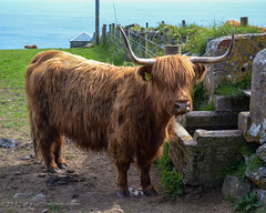 Highland Cow in Saint Austell - Cornwall, England, UK (Paul Diming) Tags: uk greatbritain england spring cornwall cattle unitedkingdom wildlife highlandcattle cornwallengland d7000 saintaustell pauldiming saintaustellengland