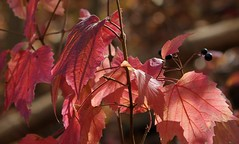 Light and Shadow (Violet aka vbd) Tags: pentax k3 pentaxk3 smcpentaxda55300mmf458ed vbd ct connecticut fall fallcolor autumn newengland pink peach purple oldminepark trumbull leaves 2014 fall2014 bokeh berries lightandshadow leaf foliage