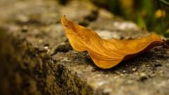 Comme une fin d't.... (Yasmine Hens) Tags: feuille leave autumn summer season dead mort mur wall muret hensyasmine hens yasmine flickr namur belgium wallonie europa