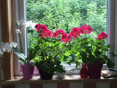 Geraniums and orchids (Katie Fuller @bogbumper) Tags: pink flowers white orchids backlit geraniums kitchenwindow windowsill