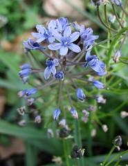 Chouardia litardierei         [  Vienna University Botanical Garden] ( KHQ Flowers) Tags: chouardia  asparagaceae