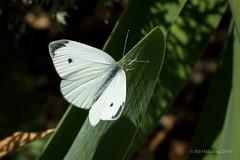 Cabbage White Butterfly (halladaybill) Tags: backyard butterlies cabbagewhitebutterfly orangecounty insect animal pollinator pierisrapae california nikond7100 nikkor80400zoomlens nikon coronadelmar
