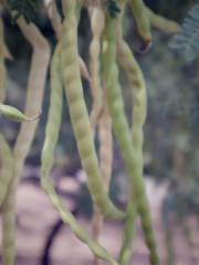 Ripening mesqite beans (EllenJo) Tags: pentaxqs1 pentax july27 2016 ellenjo ellenjoroberts