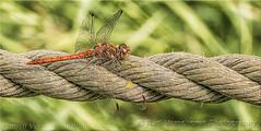 Libelle (rudi.verschoren) Tags: libelle canon 70 d 18135 belgium antwerpen antwerp natuur
