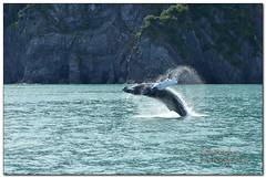 having a whale of a time (BobButcher) Tags: resurrectionbay alaska gulfofalaska humpback whale breaching nikon d7000 nikkor70200mmf28