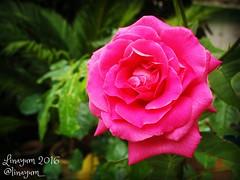 (Linayum) Tags: rosa rose roses pink flores flowers flor flower nature naturaleza linayum beautiful