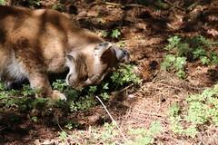 Luchs IMG_7109 (c4harry) Tags: chattengau tiere wald kosystem edersee kellerwald wildtierpark luchs