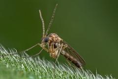 Fungus Gnat (affectatio) Tags: macro mpe65 bug insect fly gnat fungusgnat diptera mycetophilidae fungus 6d canon6d focusstack zerene