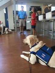 Calvin and the other Hero Dogs relax in air conditioning before the Carhartt Fashion show at the National Harbor (hero dogs) Tags: dog labrador cute therapydog servicedog