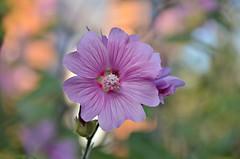 (Arnzazu Vel) Tags: bokeh naturaleza nature fiore flor flower