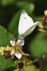 Papillon blanc (PhotOw'graphie) Tags: papillon insecte nature faune sauvage miniature petit beau extrieur t soleil soir naturel libert libre