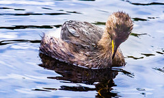 Diver (Steve-h) Tags: nature natur natura naturaleza bird aquaticbird littlegrebe dive diver diving water waterdrops feathers beak action pond lake park bushypark daylight dublin ireland europe canon camera telephoto zoom lens ef eos summer september 2015 steveh