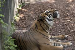 Toronto Zoo 2016 (Rick 2025) Tags: toronto torontozoo mccoytours 2016 cats bigcats tigers sumatrantiger