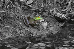 Chilling (runningman1958) Tags: 365 365dayproject nikon nikond7200 d7200 nature petrieisland petrie desaturation frog photoshop