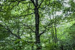 Las arterias del bosque. (David S. Daz) Tags: bosque verde arboles nature naturaleza ramas hojas postal sajambre picosdeeuropa arterias art artistica
