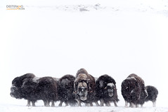 Muskoxen (Nicola Destefano) Tags: muskox muskoxen buemuschiato ovibosmoschatus norway dovrefjellnp animal mammal wildlife nobody winter snow ice wind herd