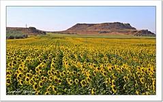 Campo de Girasoles (Lourdes S.C.) Tags: campo paisaje girasoles provinciadeteruel