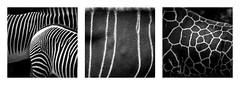 Stripes (Mathieu Calvet) Tags: pentax k3 da300f4 300mm 300 da300 triptyque nb noiretblanc blackandwhite monochrome animaux girafe zbre antilope beauval zoo