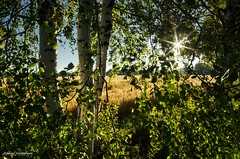 A sunny August evening (- Man from the North -) Tags: sunlight sun nature naturephotography august summertime summer naturallight finland samyang14mmf28 samyang nikond7000 nikon landscape field scene scenery evening ostrobothia westcoast explored explore