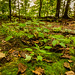 Forest Plants at Frontenac State Park