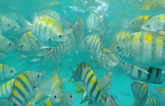 Curaao underwater world (aokcreation) Tags: sergeantmajorfish fish underwater curaao snorkling