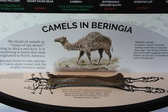 Camels in Beringia (demeeschter) Tags: canada yukon territory whitehorse beringia interpretive centre museum heritage archaeology palaeonthology history attraction science