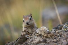 Watching and Waiting (JeffMoreau) Tags: chipmunk bokeh bokehlicious yellowstone macro national park wyoming wildlife mystic falls cute