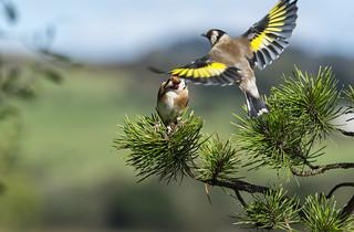European Goldfinches ~ Explored