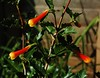 Desfontainia spinosa (longk48) Tags: desfontainia spinosa