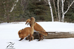 Family dispute (Seventh day photography.ca) Tags: redfox fox animal mammal wildanimal wildlife predator ontario canada winter