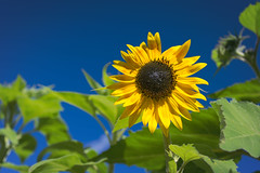 Sunflower (Adam Curran) Tags: saint john saintjohn new brunswick newbrunswick nbphoto nikond3300 d3300 nikkor flower plant sunflower yellow green blue outdoor outdoors