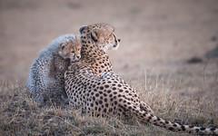 Tender moment (Sue MacCallum-Stewart) Tags: cheetah maasaimara kenya africa malaika