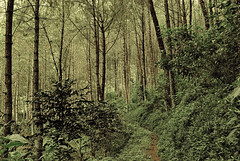 Path to forest deep (elly.sugab) Tags: forest shade path pine jungle bedengan dau selorejo malang oudoor hiking tree plant