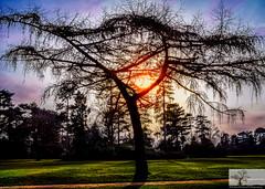 Golden Hour Silhouette (Rob Felton) Tags: bedfordpark bedford bedfordshire felton robertfelton tree trres goldenhour silhouette