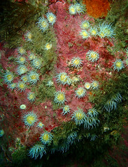 fields of anemones (richie rocket) Tags: scillies seasearch scillyisles cornwall uk underwater scuba diving