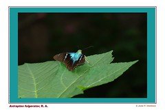 Astraptes fulgerator (Sphenodiscus) Tags: astraptes fulgerator mariposa butterfly hesperiidae pyrginae ramos arizpe coahuila