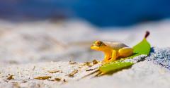 White Froggy (florianhuguenin) Tags: animal frog madagascar travel wildlife toamasina mg