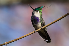 "Plovercrest Hummingbird (Thelma Gatuzzo) Tags: avesbrasileiras colibris aves ""cherryblossom"" blossom vogel brasileiros fauna flor 2016 florada oiseaux pássaros camposdojordão sakura thelmagatuzzo© serradamantiqueira colibri flora hummingbird sãopaulo oiseau natureza beijaflor hummingbirds bloom thelmagatuzzophotography© pajáro cerejeira"