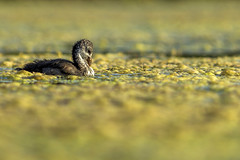 Fulica atra (Tom Rop) Tags: fulica atra foulque macroule oiseaux aves rallidae gruiformes palmipde animal nature bokeh jaune yellow canon 600d 300mm f4