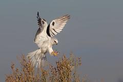 Landing! (bmse) Tags: whitetailed kite landing southerncalifornia orange county