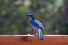IMG_6320 (armadil) Tags: backyard bird birds jay jays scrubjay scrubjays