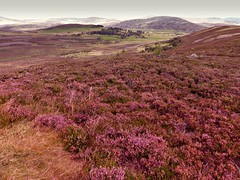 heather in the highlands (Steffi-Helene) Tags: heather heidekraut hochland highlands nature naturellement naturpur lilac ros scotland europe travelling landscapes landschaft