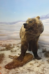 Brown Bear (demeeschter) Tags: canada yukon territory whitehorse beringia interpretive centre museum heritage archaeology palaeonthology history attraction science