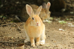 image (Rubia.A) Tags: 兎 うさぎ 大久野島 広島 rabbitisland okunoisland hiroshima japan rabbit
