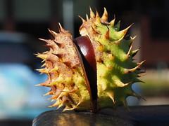 Kastanie_01 (Kurrat) Tags: herbst frucht makro kastanie