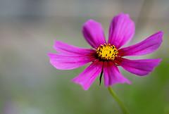 pink and yellow (kinaaction) Tags: flower nature flora sonyilce6000 cosmosbipinnatuscav cosmos cosmosflower pinkflower pink bokeh